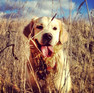 Lottie the golden retriever's facebook page Image
